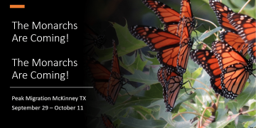The Monarchs are Coming!